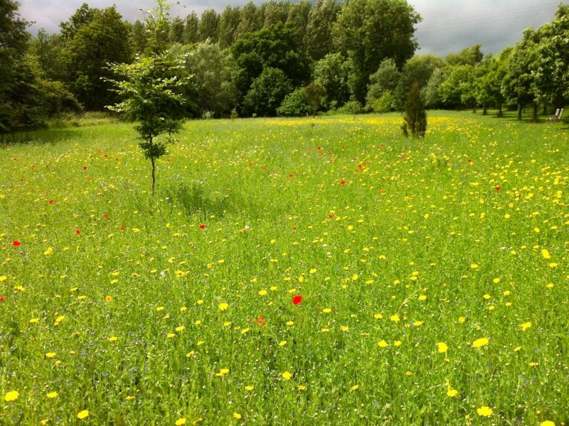 Wild Flower Meadow Planted in Previous Autumn